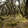 Stunted, moss covered beech trees on the climb to Aokaparangi