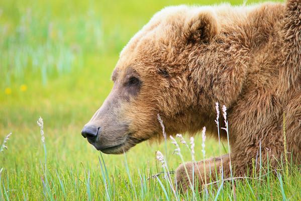 Katmai National Park - Bear Viewing