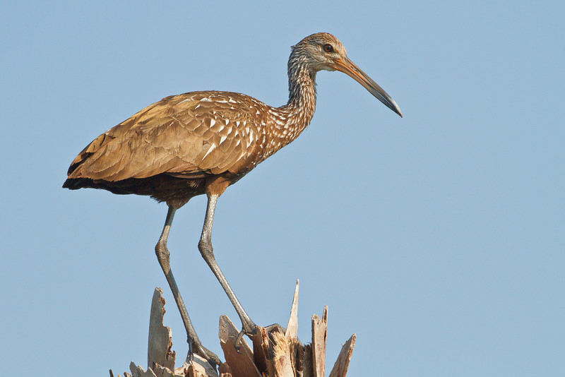 Limpkin on the lookout at Viera Wetlands