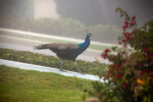 2010 10/13: Peahen Visit