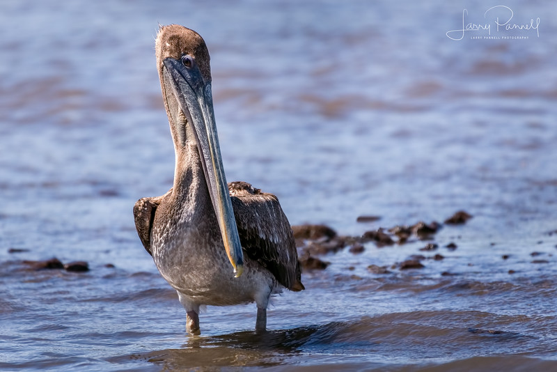 Brown Pelican - Costa Rica