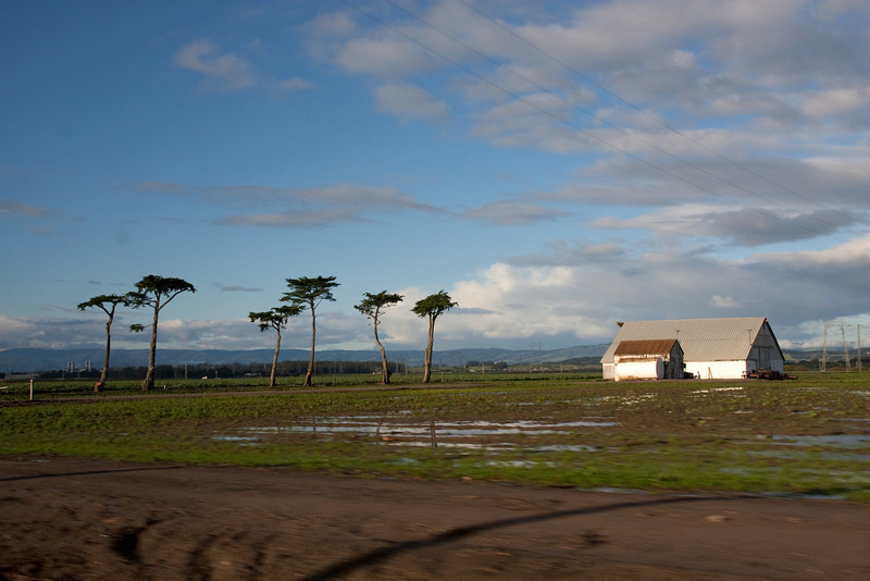 Someone recently triimmed these Monterey Cypress (I think) very oddly. But it makes an intriguing photo, with the puddles in the farmland after the recent rains.