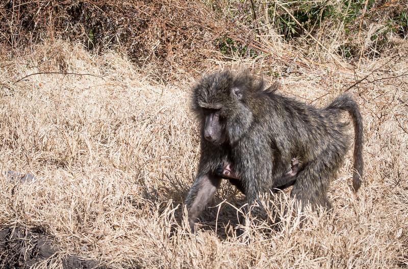 Tanzania Ngorongoro Crater, babboon  w babe-5139.jpg