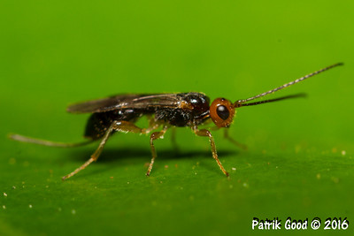 Red-headed Black Braconid Wasp