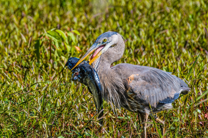 Great Blue Heron with Catfish-6389.jpg