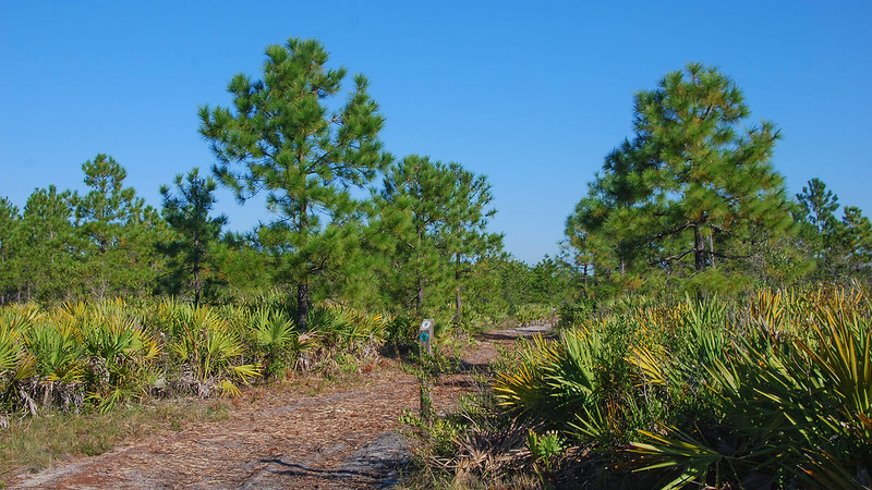 Green marker in pine flatwoods