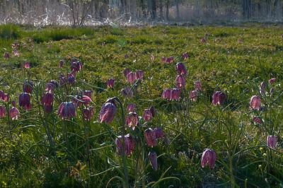 Liliaceae Liljeväxter