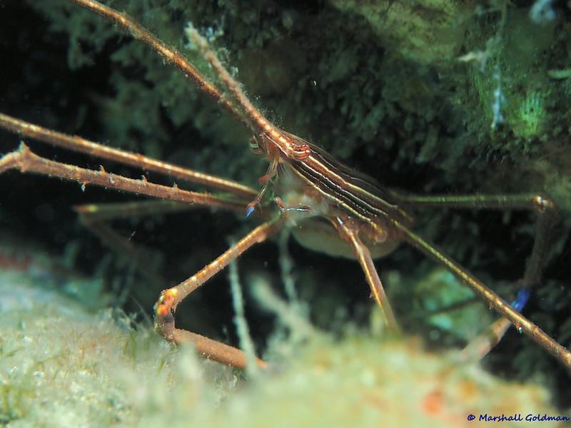 Arrow Crab 1 BHB-P1010020.jpg