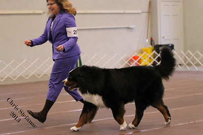 American Bred Dog