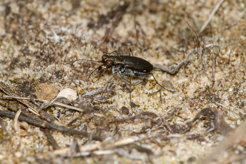 Cicindelidia punctulata Punctured Tiger Beetle Sauk Prairie Recreation Area WI  IMG_0229.jpg