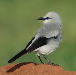 2. BIRDS OF ETHIOPIA / VÖGEL ÄTHIOPIENS