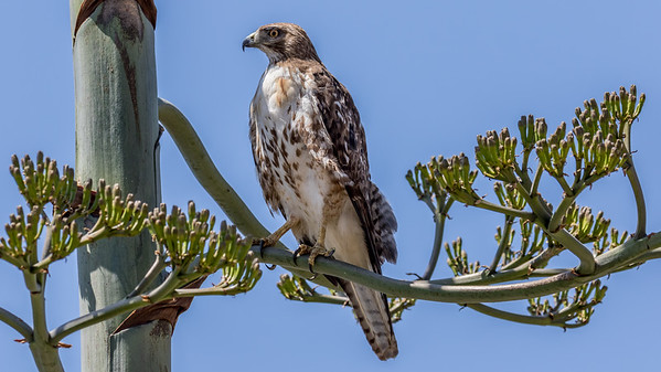 Cooper's Hawk at the canyon