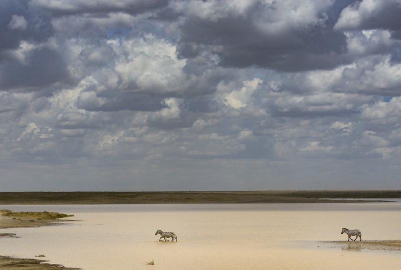 Zebras-storm-coming-Tanzania-2.jpg