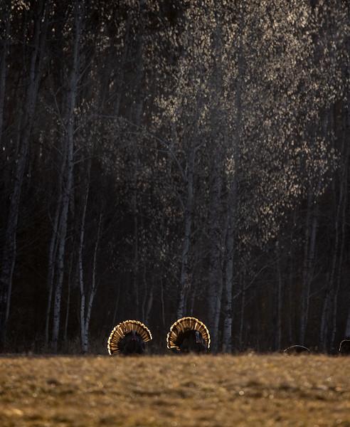 Wild Turkey flock displaying male toms courtship Skogstjarna Carlton County MN  IMGC5740.jpg