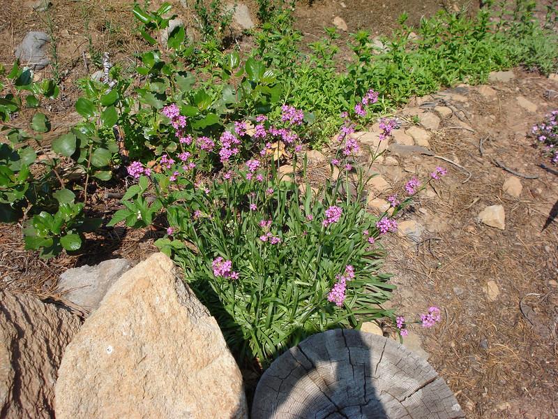 Unknown Ornamental Grass 6-25-2008