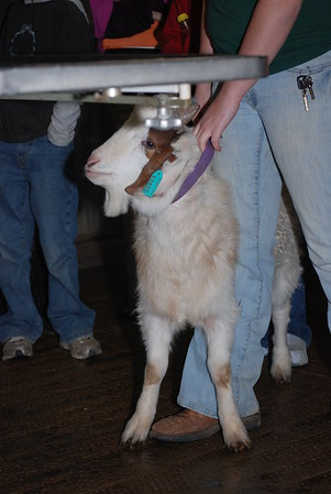 Goat Dehorning and Castration 021810