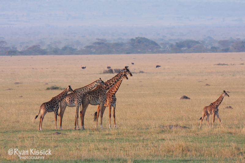 Giraffes watch as a baby giraffe wanders off