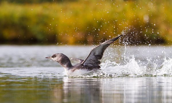 -Loons and divers-