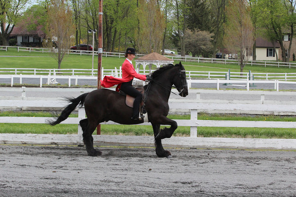 036 Friesian Walk-Trot