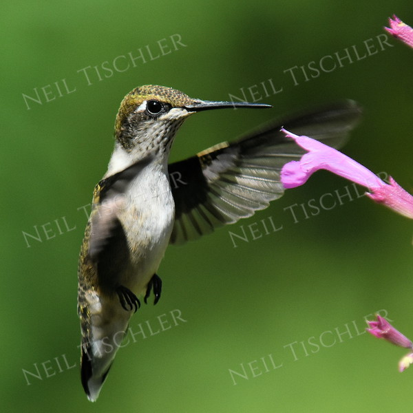 #1194  A ruby throated hummingbird juvenile male investigates the pink flowers of an Ava's Hummingbird Mint plant.