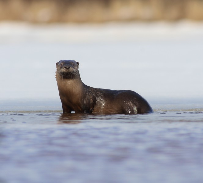 River Otters are at home in both the water and on land. They love a good fish or crayfish dinner. This one popped up in one of the only open spots in the river. [March 11; St. Louis River, Riverside, Duluth, Minnesota]