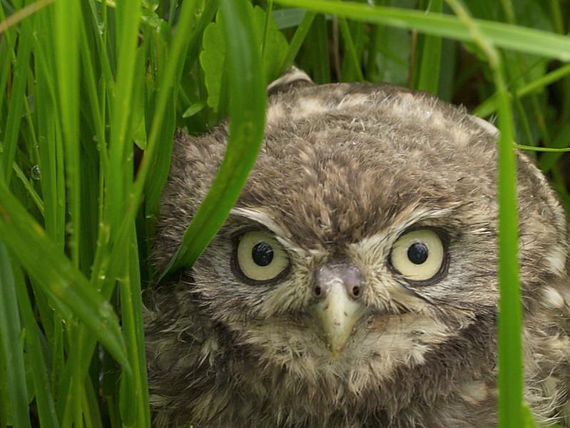 Henk Peter little little owl