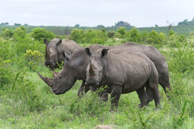 White Rhinos.jpg