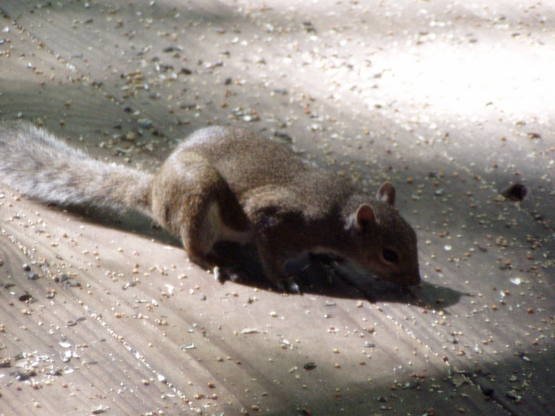 10. Squirrel at Shirley's.JPG