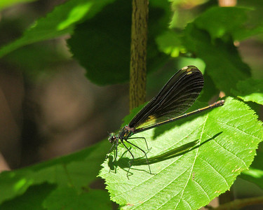 Maine Odonata
