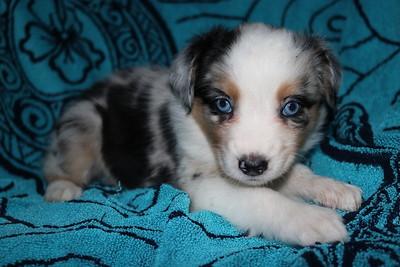Noel/Rio Summer 2018  - 6 week pups