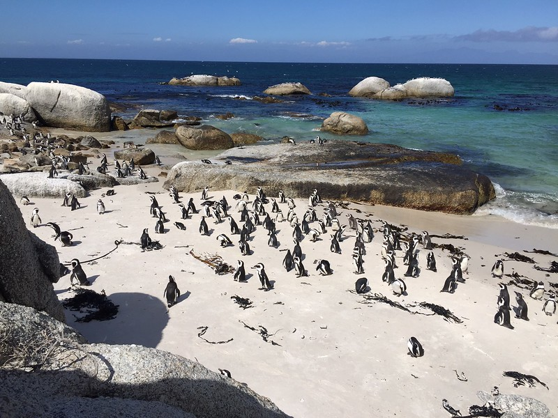 Penguins congregate at Boulders Beach - Kristin Appelget