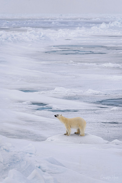 Lone Polar Bear Atop The World.jpg