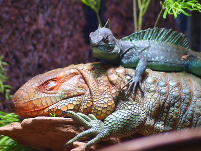 Lizard with an attitude