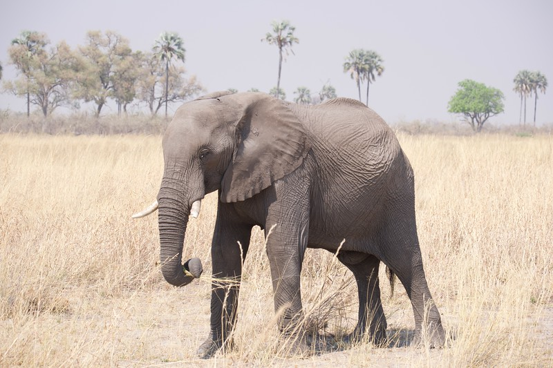 Elephants feeding, Selinda Explorer camp, Botswana