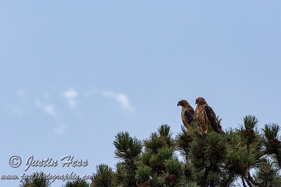 Red-tailed Hawks 08-27-2020