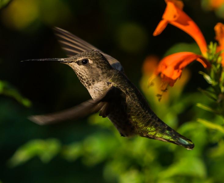 Humming Bird III