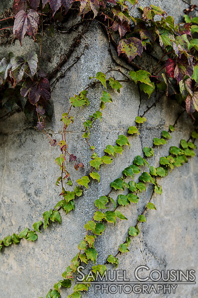 Vines growing on a cement wall.