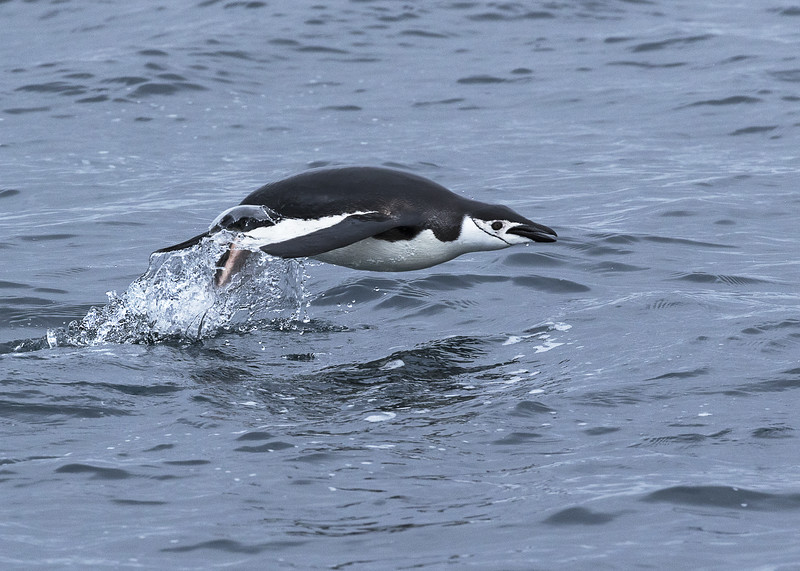 Chinstrap penguin returning to colony