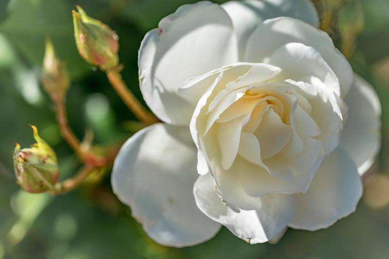 White Rose 4-1.jpg