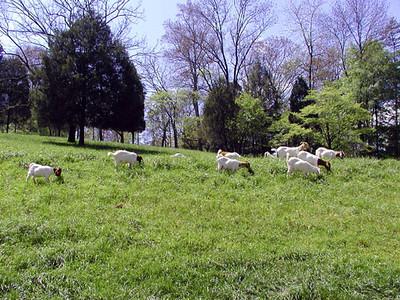 Goat Herd on Savage Garden Road Caryville, TN April 28, 2007