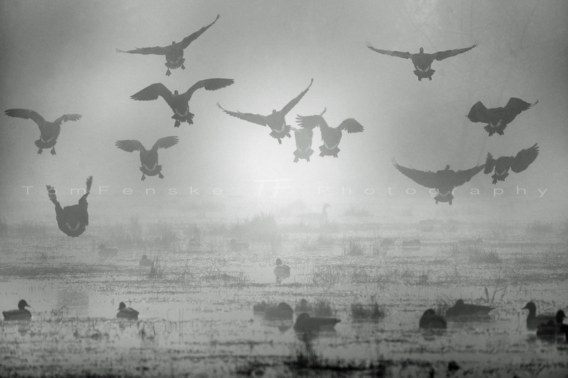 Geese take flight in thick fog