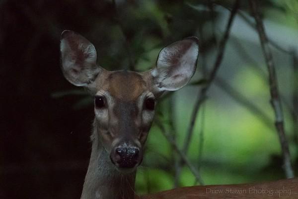 Deer - 2020