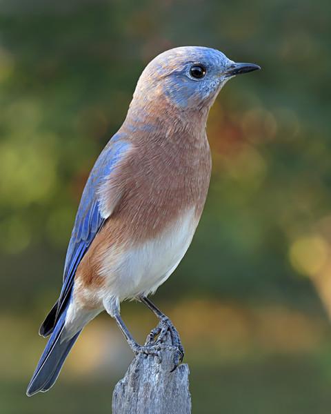 sx50_bluebird_boas_130.jpg