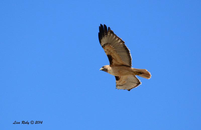 Red-Tailed Hawk - 2/23/14 - Mount Laguna