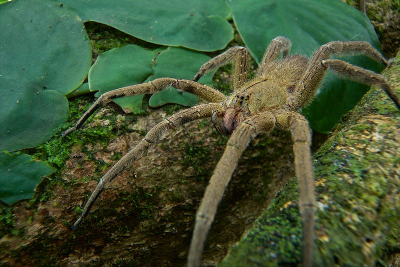 Wandering spider (Phoneutria bolivensis)