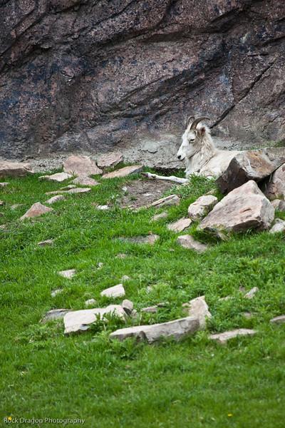 Mountain Goat, Calgary Zoo