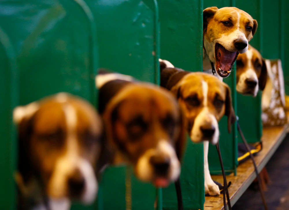 . A Foxhound yawns during the first day of the Crufts Dog Show in Birmingham, central England March 7, 2013. REUTERS/Darren Staples   (BRITAIN - Tags: ANIMALS SOCIETY)