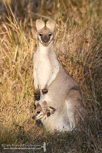 Pretty-faced (Whiptail) Wallaby (Macropus parryi)