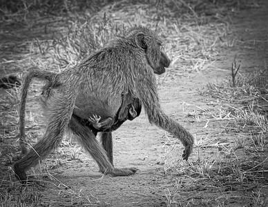 Baboons of Tanzania