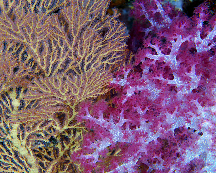 Fan and soft coral